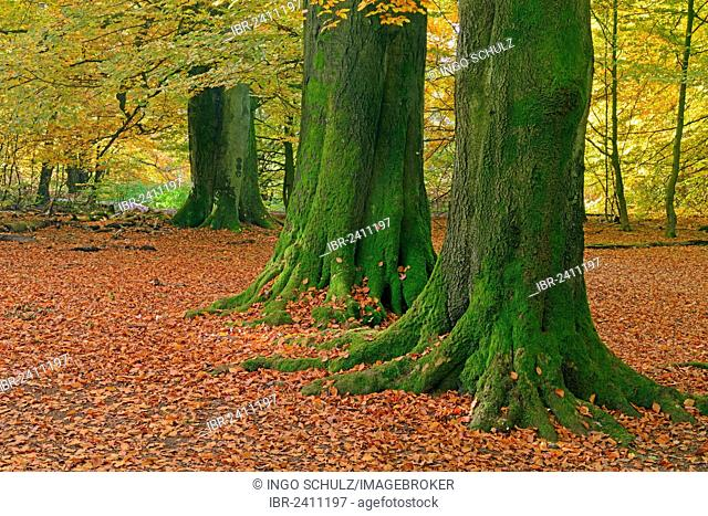 Mossy trunks of old Beech (Fagus) trees in autumn, nature reserve of the ancient forest of Sababurg, Hesse, Germany, Europe