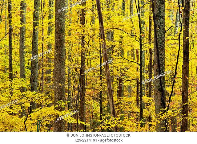 Autumn foliage in the hardwood forest understory along the Laurel Creek Road, Great Smoky Mountains NP, Tennessee, USA