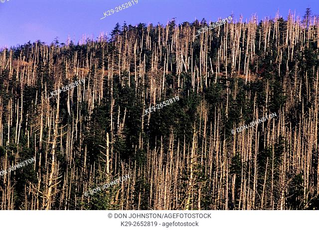 Dead Fraser Fir trees- result of balsam woolly adelgid infestation, Great Smoky Mountains National Park, Tennessee, USA