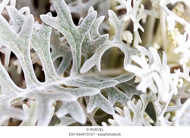 Artemisia absinthium , absinthe wormwood close up