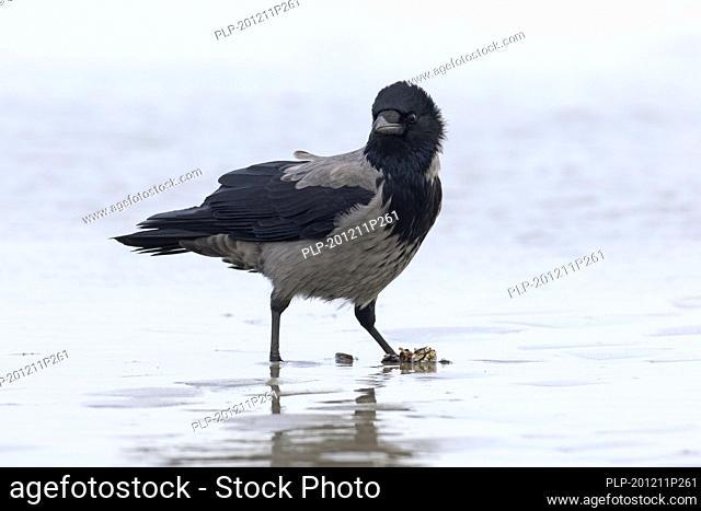 Northern European hooded crow (Corvus cornix cornix / Corvus corone cornix) eating mussel on the beach