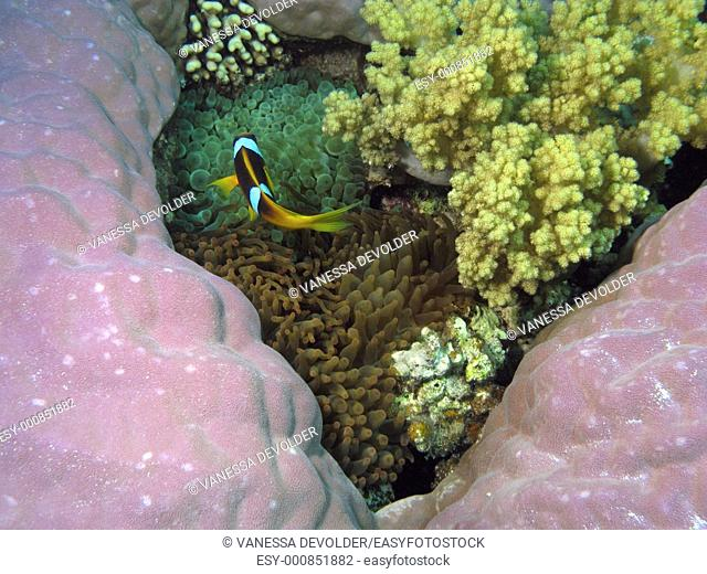 Corals and anemon fish in the Red Sea, Egypt