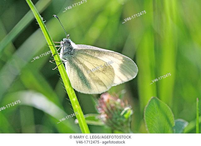 Wood White, Leptidea sinapis hidden in deep grass  Attracted to legumes and vetch  Habitat is grasslands, old mining areas and rides  UK protected species