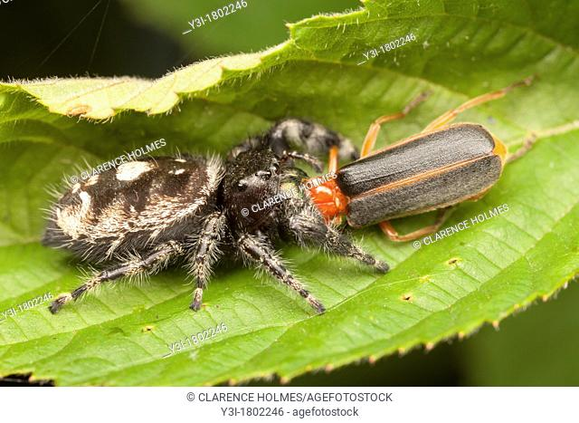 Bold Jumper Phidippus audax - Female with Soldier Beetle prey, Cleveland, Cuyahoga County, Ohio, USA
