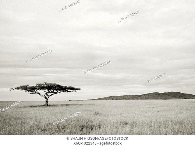 A lone Acacia Tree in the Serengeti in Tanzania in Sub Saharan Africa
