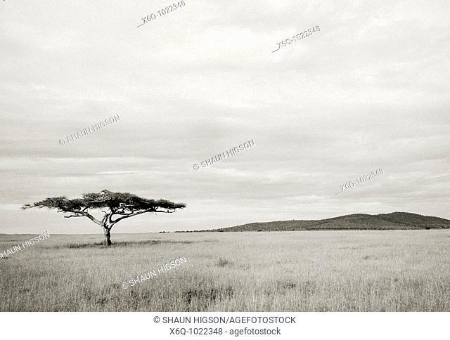 A lone Acacia Tree in the Serengeti in Tanzania in Sub Saharan Africa