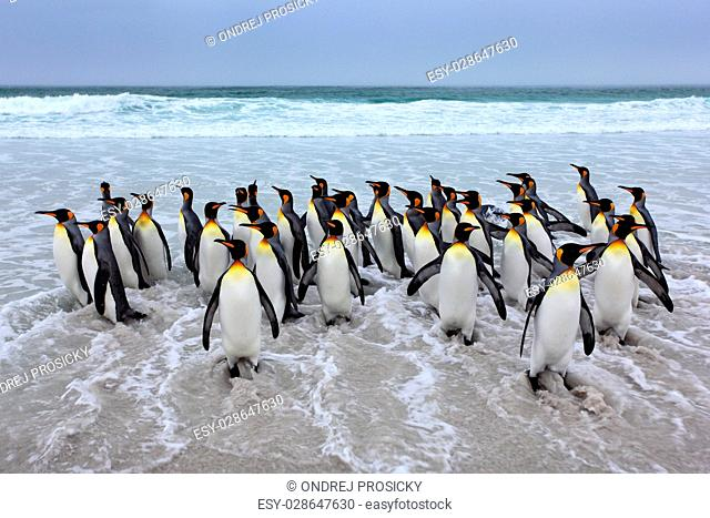 Group of king penguins coming back from sea tu beach with wave