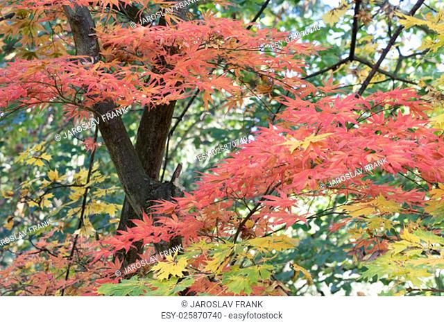 Autumn maple with red, green and yellow leaves