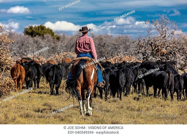 OCTOBER 2017, Ridgway, Col.orado: Cowboys on Cattle Drive Gather Angus/Hereford cross cows and calves of Double Shoe Cattle Company, Centennial Ranch