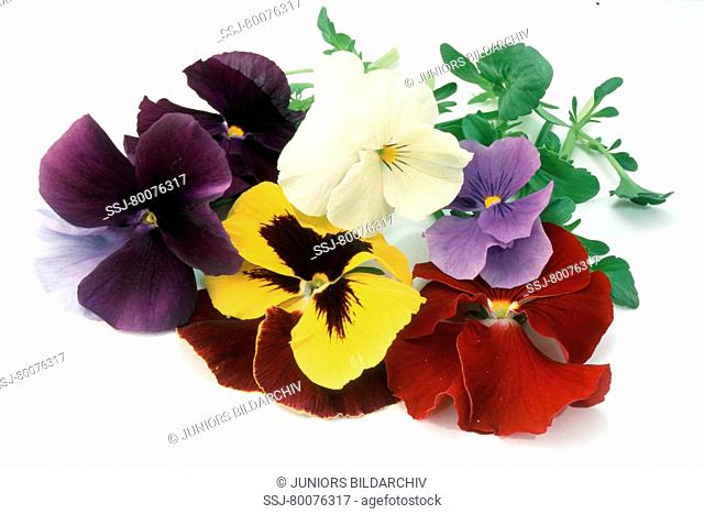 DEU, 2004: Garden Pansy (Viola x wittrockiana), flowers, studio picture