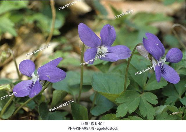 Early Dog-violet Viola reichenbachiana - Schoorlse Duinen, Schoorl, Kennemerland, North Holland, The Netherlands, Holland, Europe