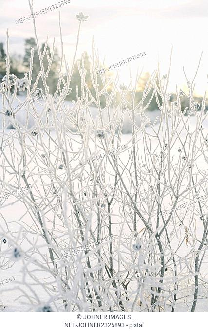 Bush covered with frost