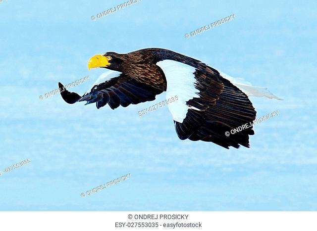 Steller's sea eagle, Haliaeetus pelagicu