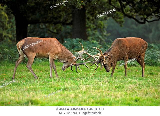 red deer (Cervus elaphus), Stags fighting during rut, England, U.K