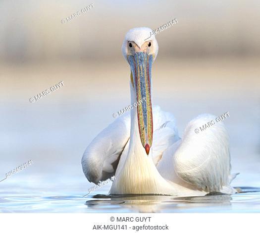 Great White Pelican (Pelecanus onocrotalus) in Lake Kerkini, Greece