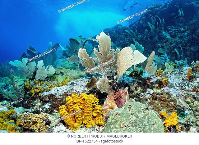 Coral reef in strong waves and currents, Venus sea fan (Gorgonia flabellum), Yello tube sponge, (Aplysina fistularis) Little Tobago, Speyside