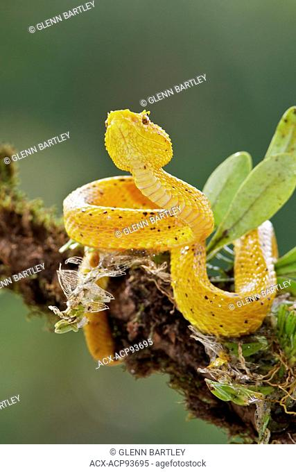 Eyelash Viper perched on a branch in Costa Rica, Central America
