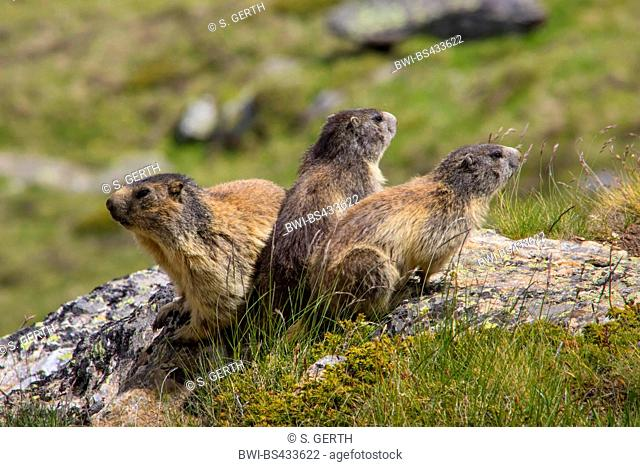 alpine marmot (Marmota marmota), three marmots sunbath on a rock, Switzerland, Valais