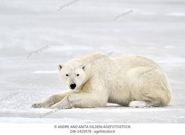 Polar bear (Ursus maritimus) lying down on ice and looking to camera, Churchill, Manitoba, Canada