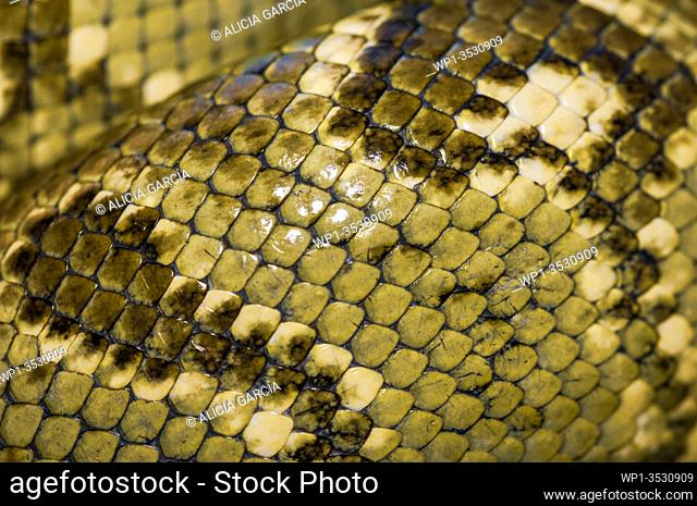 closeup of the skin of a Malagasy tree boa coiled in bamboo reed in ranomafana natural park, madagascar