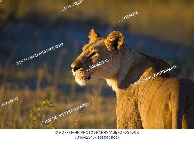 Lioness (Panthera leo) enjoying the morning sun in Botswana, Africa
