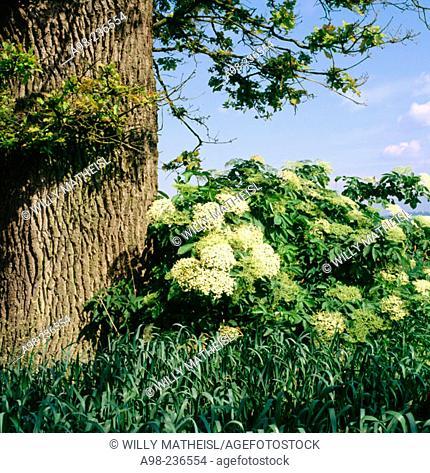 Oak tree and Elder