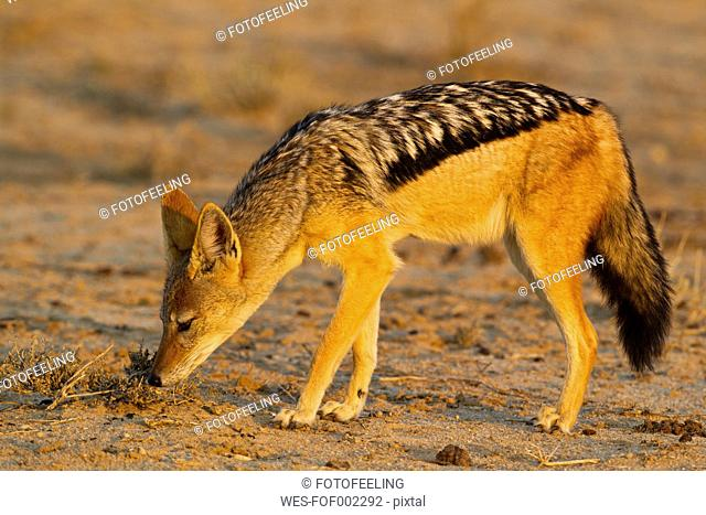 Africa, Botswana, South Africa, Kalahari, Black-backed Jackal in Kgalagadi Transfrontier Park
