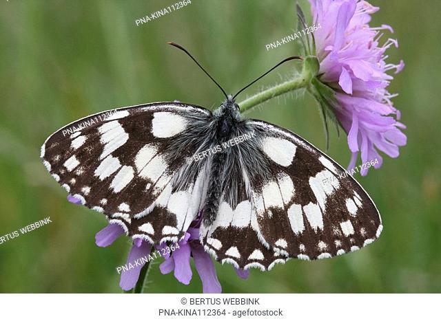 Marbled White Melanargia galathea - Vnorovy, South Moravia, Jihomoravsky, Czech republic, Europe