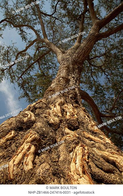 Elephant damage to bark of winterthorn tree Luangwa South National Park Zambia