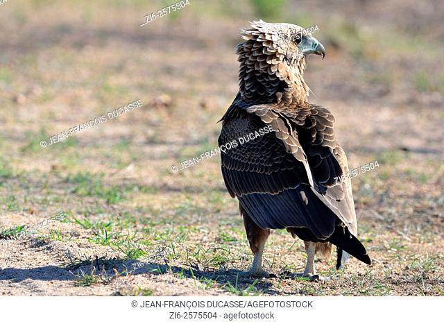 Bateleur eagle (Terathopius ecaudatus), juvenile, standing on ground, Kruger National Park, South Africa, Africa