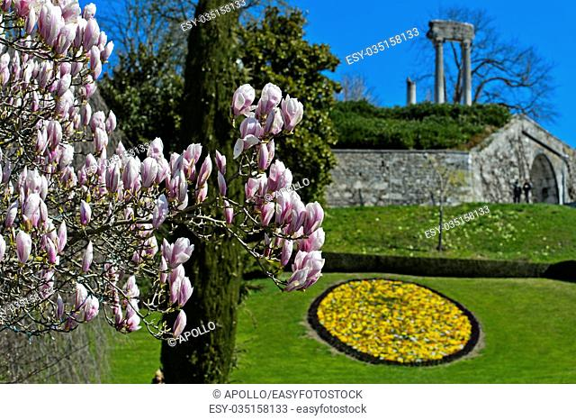 Flowering magnolia in the park, Nyon, Vaud, Switzerland
