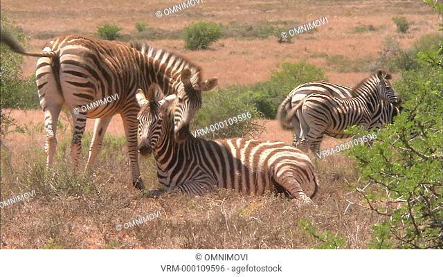 Four Plains Zebras in grass with one lying down