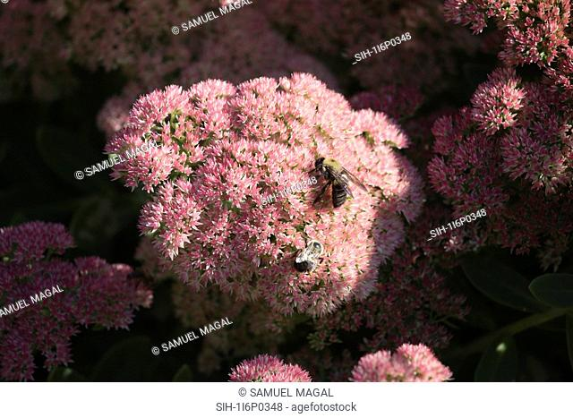 New York City, Bronx Zoo, Honeybee on the flower
