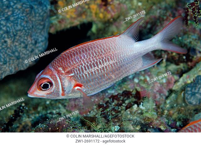 Whitetail Squirrelfish (Sargocentron caudimaculatum), Barracuda Rock dive site, Fiabacet Island, Misool, Raja Ampat (4 Kings), West Papua, Indonesia