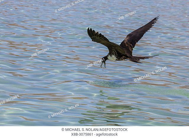 Adult female magnificent frigatebird, Fregata magnificens, dip feeding in San Gabriel Bay, Espiritu Santo Island, BCS, Mexico