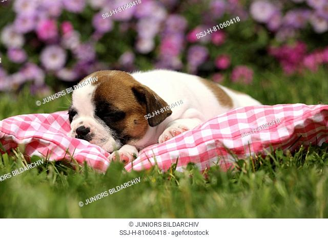 French Bulldog. Puppy (6 weeks old) sleeping on a red checkered cushion. Germany