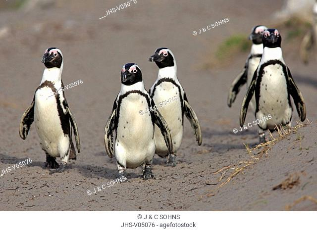Jackass Penguin, Spheniscus demersus, Betty's Bay, South Africa, Africa, group of adults walking on beach