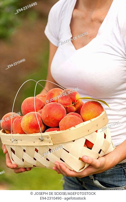 A partial view of an 18 year old woman holding a basket of peaches in an orchard in the summer