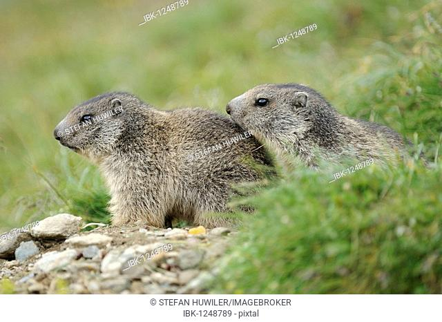 Two young Alpine marmots (Marmota marmota) lookin out of their den