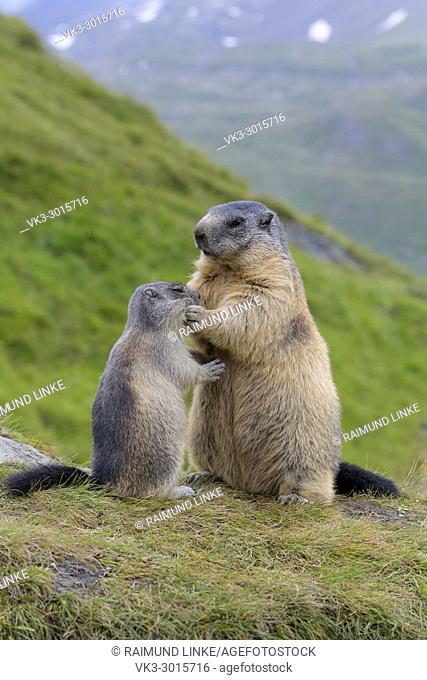 Alpine Marmot, Marmota marmota, mother with young, Hohe Tauern National park, Austria