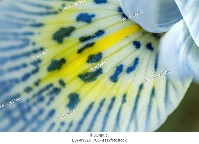 Colorful pattern of lines and dots on yellow on the throat of a white spring flower to attract insects to the pollen for pollination