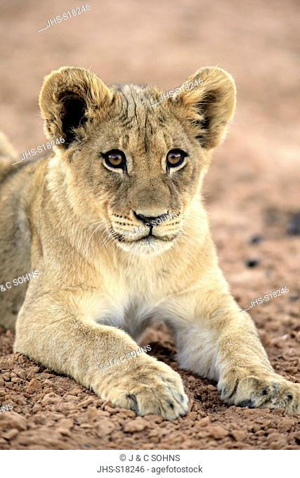 Lion, (Panthera leo), young four month old portrait, Tswalu Game Reserve, Kalahari, Northern Cape, South Africa, Africa