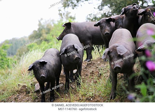 Jabugo herd of pigs