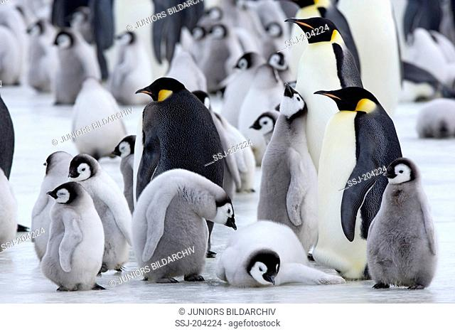 Emperor Penguin (Aptenodytes forsteri). Adults and chicks on ice. Snow Hill Island, Antarctica