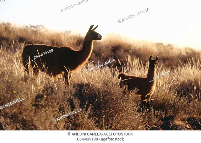Llamas (Lama glama). Colca Valley. Peru