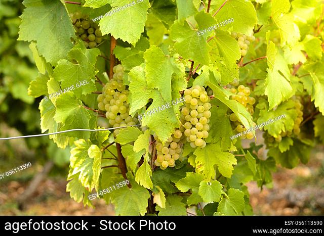 Grapes in vineyards before harvest in Beaujolais land in France