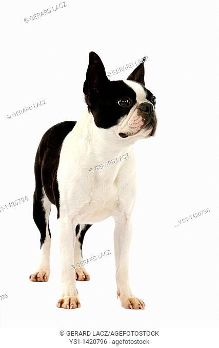 BOSTON TERRIER DOG, FEMALE AGAINST WHITE BACKGROUND