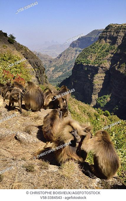 Ethiopia, Amhara region, World Heritage Site, Simien Mountains National Park, Gelada baboons delousing eachother