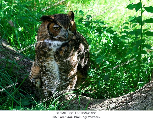 A Great Horned Owl is perched on the branch of a downed tree, Homosassa Springs, Florida, 2014. Image courtesy Randolph Femmer/USGS