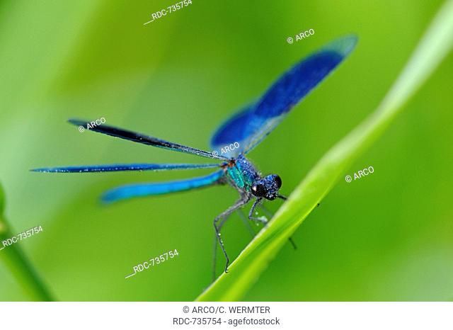 Banded demoiselle, male, Erle, Germany / (Calopteryx splendens)